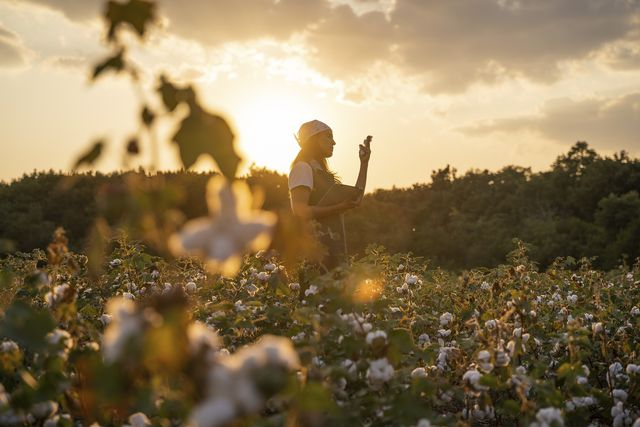cotton picking season blooming cotton field, young woman evaluates crop before harvest, under a golden sunset light
