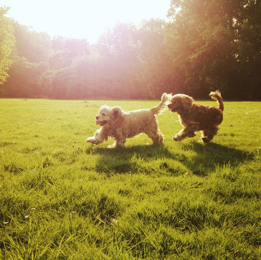 couple of cocker spaniel dogs playing outdoor