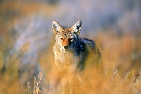 Coyote (Canis latrans), Joshua Tree National Park, California, USA