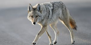 Coyote walking close