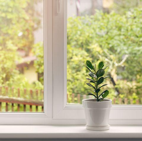crassula flower in pot on windowsill