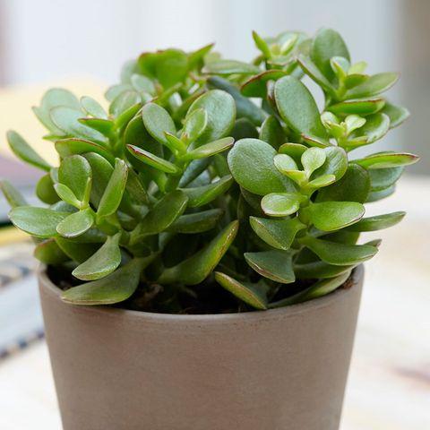 Best indoor plants - money plant