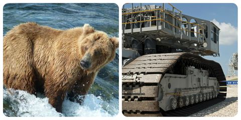Brown bear, Grizzly bear, Bear, Kodiak bear, Wildlife, Adaptation, Carnivore, Vehicle,