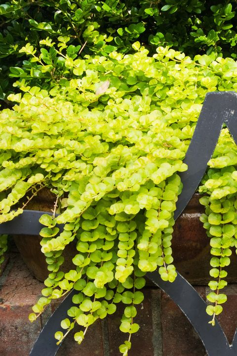 Creeping Jenny Lysimachia Aura Trailing Plant shade perennials backyard garden