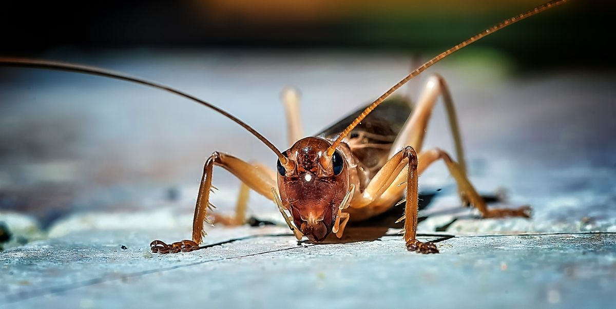 How To Get Rid Of Crickets In 4 Steps, How To Catch Crickets In Basement