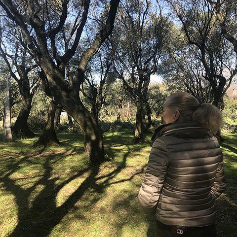 Seravezzaolive grove