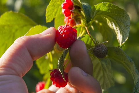 Cropped hand of woman picking raspberries from plant at farm