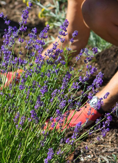 How To Grow Lavender In Your Garden Benefits Of Lavender