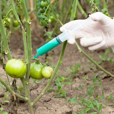 Cropped Image Of Scientist Injecting Tomato At Farm