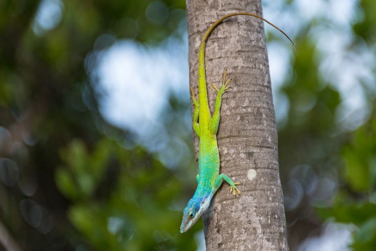 Cuban False Chameleon or Knight Anole in Large Twig