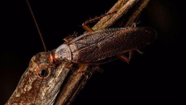 cucaracha bebe lagrimas