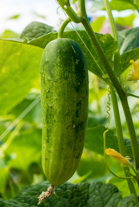 cucumber in the garden