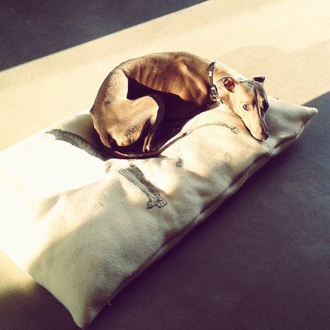 cuddly-dogs-greyhound