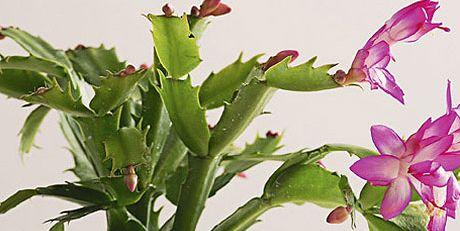 Cactus de navidad cuidados y consejos cactus navidad - Cuidados planta navidad ...