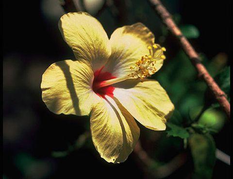 hibisco flor amarilla