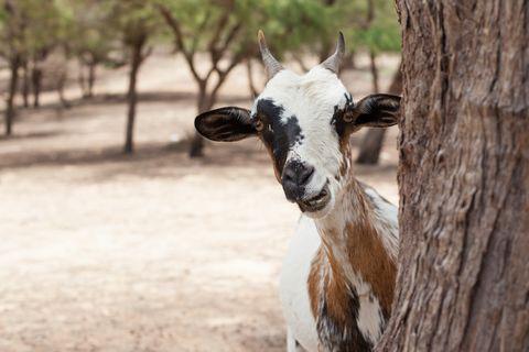 Curious Goat, Senegal