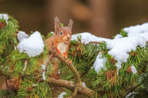 Curious red squirrel in pine tree