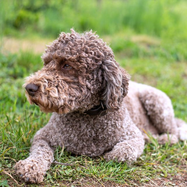 14 Curly Haired Dogs Poodle
