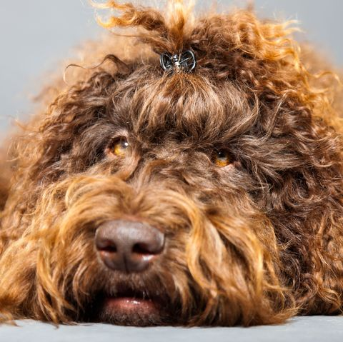 Big Dogs With Short Curly Hair 65