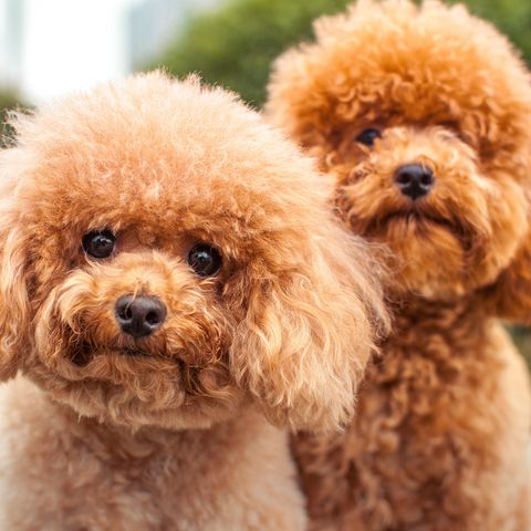 Big Dogs With Short Curly Hair 29