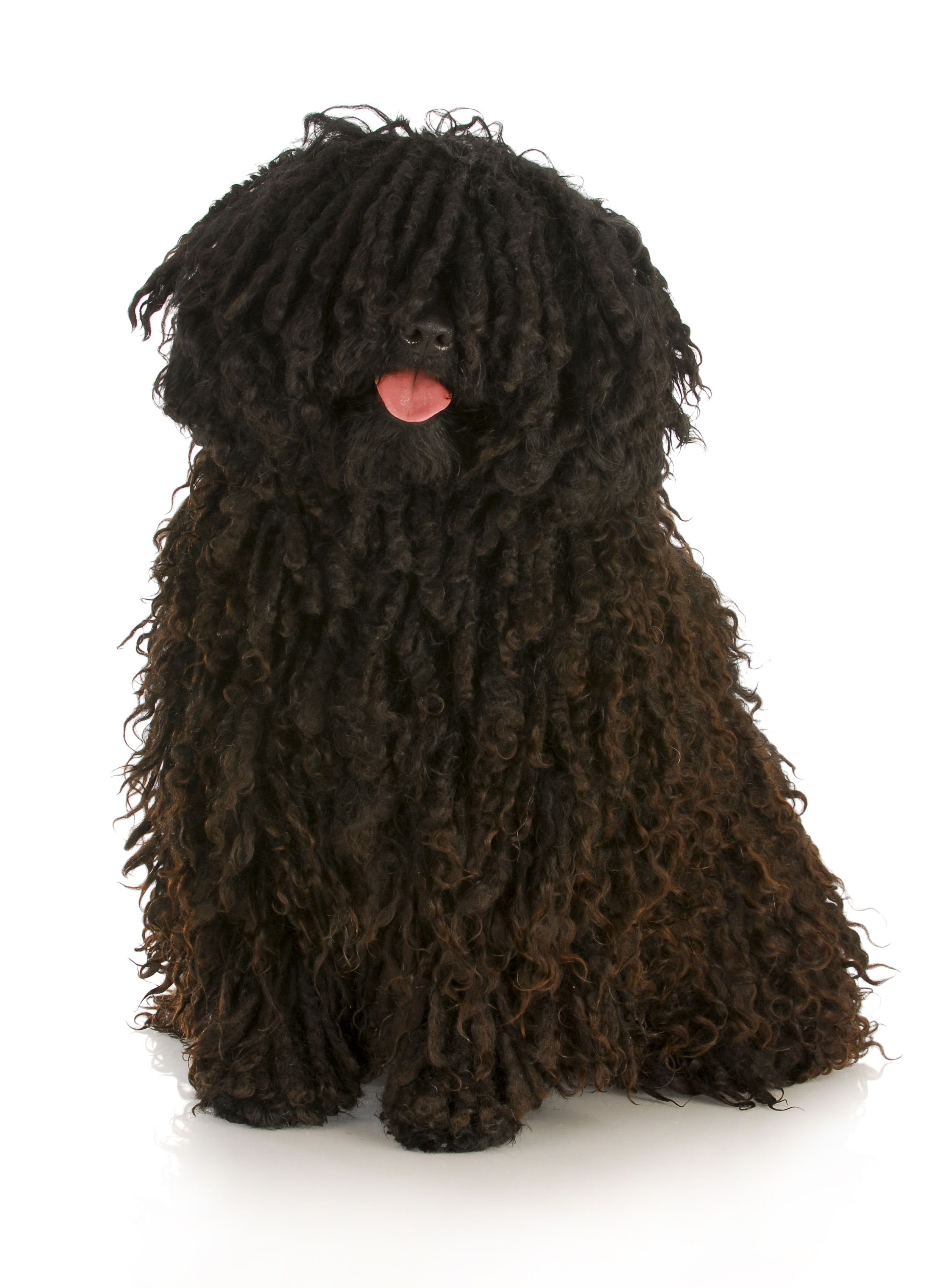 Big Dogs With Short Curly Hair 47