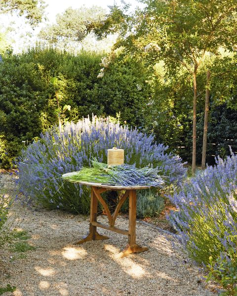 vintage wood table with cut lavender bundles in lavender garden