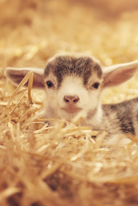 cute baby animals goat