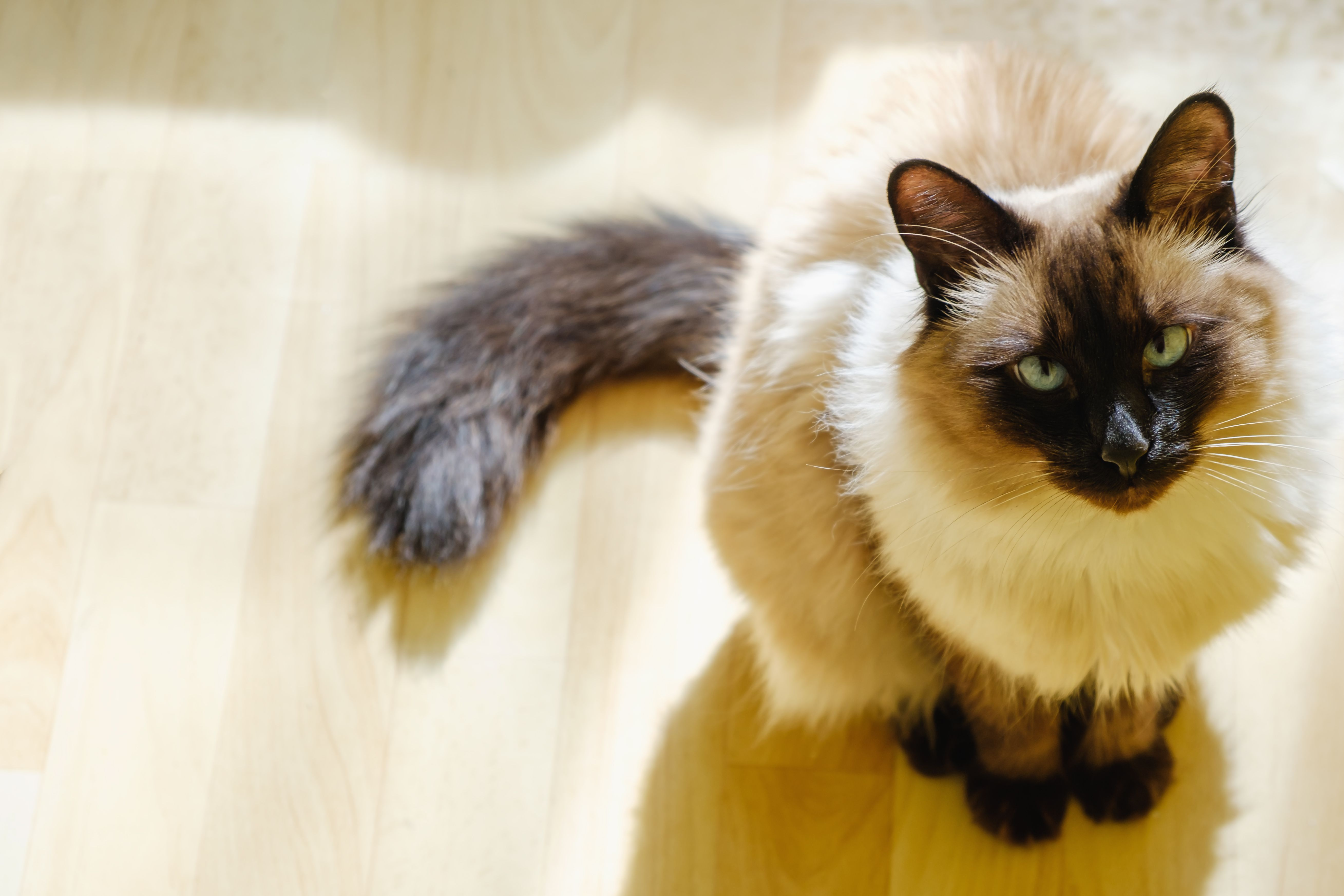 Hypoallergenic Cat Breeds Cats You Won T Be Allergic To