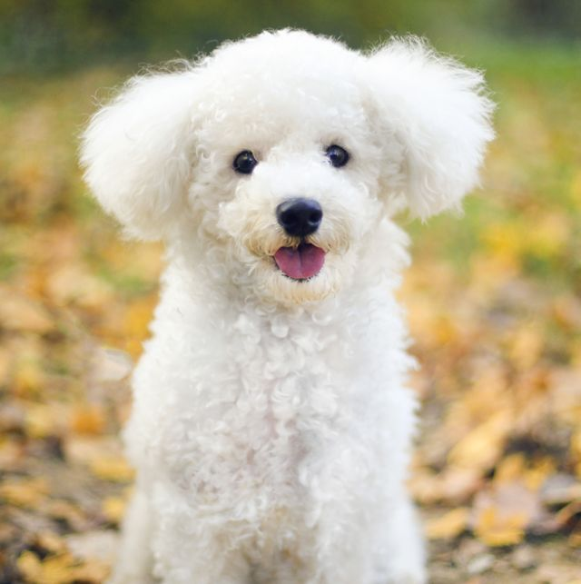 dogs that dont shed bichon frise