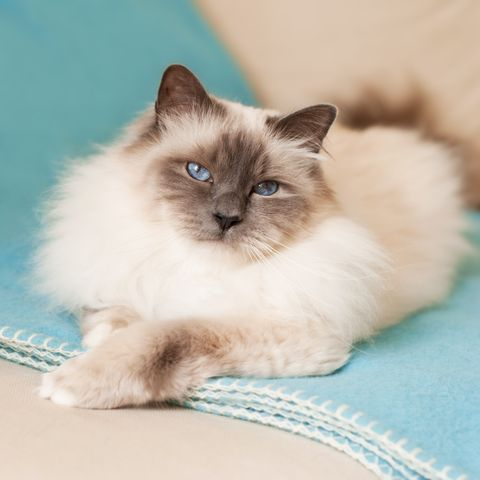 cute cat breeds birman