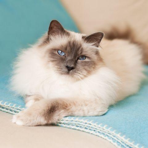 cute cat breeds birman
