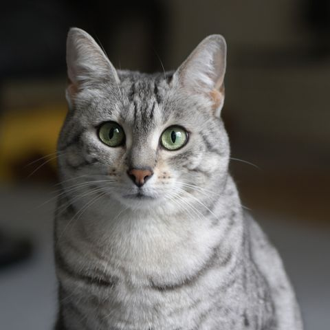 cute cat breeds - egyptian mau