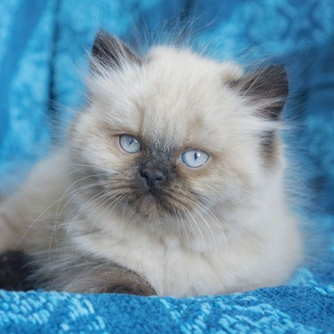 cute cat breeds - himalayan