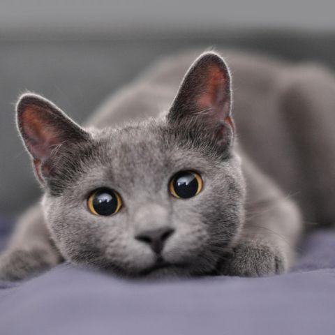 cute cat breeds russian blue