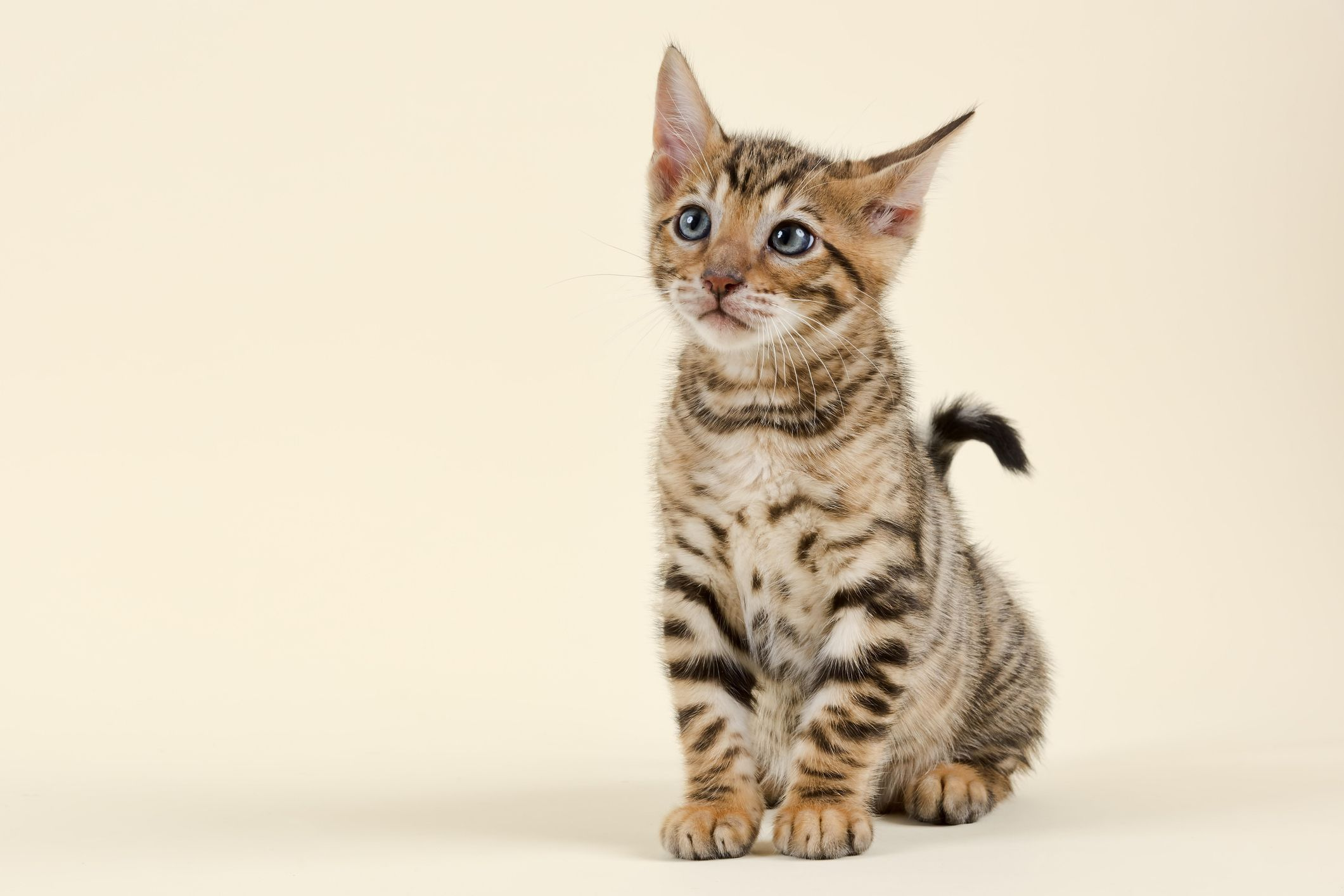 14 Cute Cat Breeds Ragdolls Egyptian Mau And More