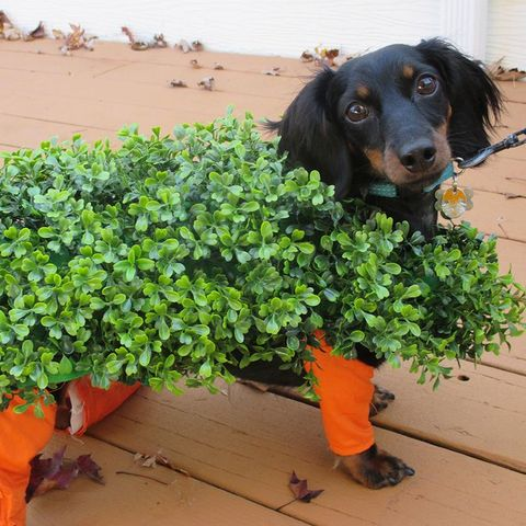 Dachshund Halloween Decorations.69 Dog Halloween Costumes Cute Ideas For Pet Costumes