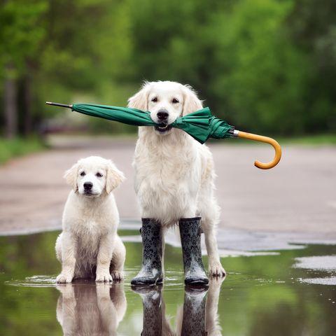 golden retrievers wearing rain boots and holding an umbrella