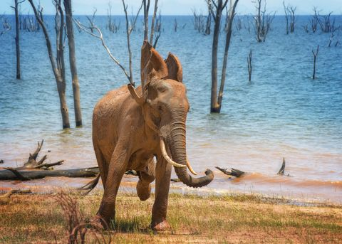 cute elephant in motion with ears flapping at lake kariba, zimbabwe