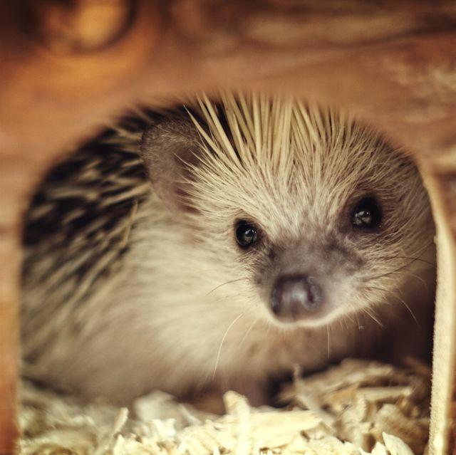 Hedgehog baby in hog house