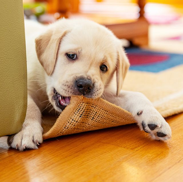 cute puppy chewing the carpet