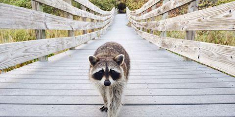 Cute raccoon walking on a boardwalk in Bill Baggs Cape Florida State Park towards camera