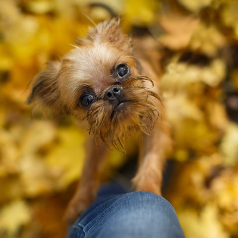 cute-teacup-dog-breeds brussels griffon