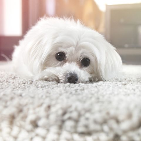 cute-teacup-dog-breeds maltese