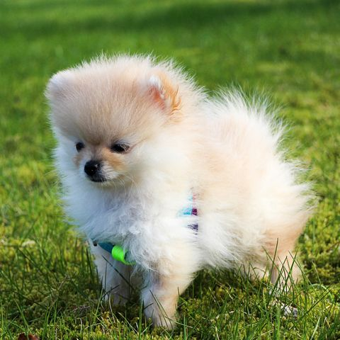 16 Teacup Dog Breeds Pomeranian