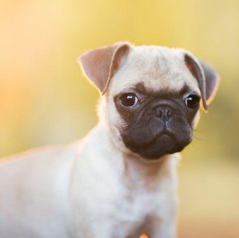 16 Teacup Dog Breeds Pomeranian Terrier And More