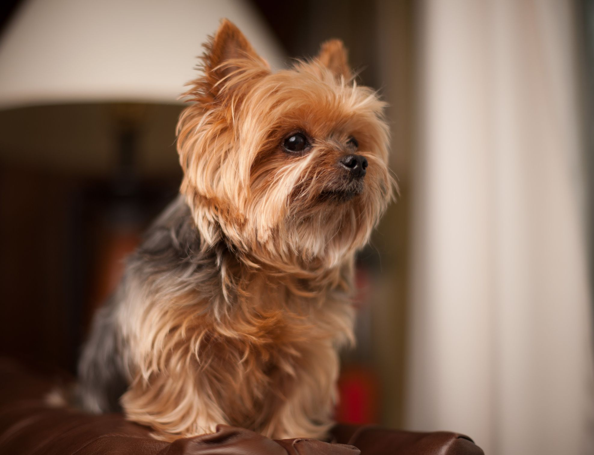 16 Teacup Dog Breeds Pomeranian Terrier And More