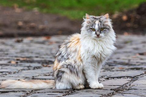 Un joli chat tricolore assis sur la piste et regardant le photographe avec un chat domestique à l'extérieur