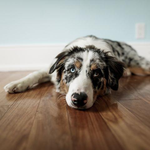 cutest-dog-breeds-australian-shepherd