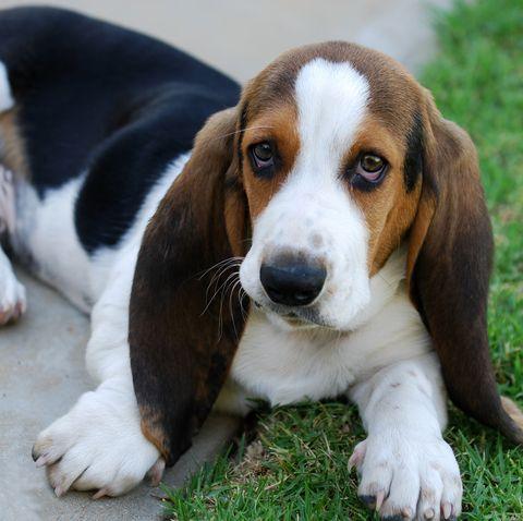 cutest-dog-breeds-basset-hound