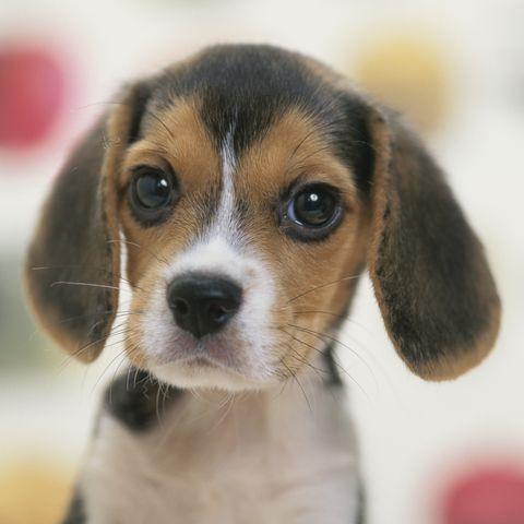 cutest-dog-breeds-beagle